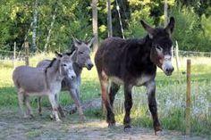 Kuvahaun tulos haulle Aasi Donkeys, Goats, Horses, Animals, Animales, Animaux, Donkey, Animal, Animais