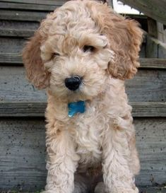 Cockapoo! Looks like a little stuffed animal!