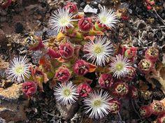 Desert Flower Names   Desert Flower Names