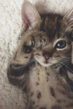 Cute Cats Talking To Each Other Cute Kittens And Puppies Videos Pretty Cats, Beautiful Cats, Animals Beautiful, Majestic Animals, Cute Baby Animals, Animals And Pets, Funny Animals, Bizarre Animals, Animals Images