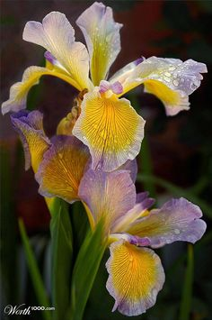 Dewy Irises By Buffmufin