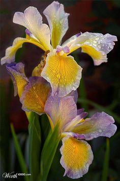 Dewy Irises  By Buffmufin