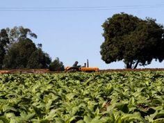 Fumicultores têm renda maior que média nacional