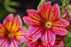 Have You Met Painted Tongue (Salpiglossis) Yet? It's an annual. Photo by Zixii