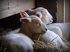 Napping Lambs