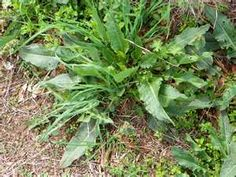 "Dock, also called yellow dock, curly dock, and broad dock is a perennial plant which my Native American grandmothers use for ""all women's problems."" I dig the yellow roots of Rumex crispus or R. obtusifolius and tincture them. I also harvest the leaves and/or seeds throughout the growing season to increase blood-levels of iron, reduce menstrual flooding and cramping, and correct hormone levels. (Susun Weed)"