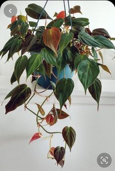 Excited to share this item from my shop: Velvet Leaf Philodendron Micans philodendron live plant rare houseplants hanging houseplants Air Purifier plants heart shape plants Hanging Plants, Indoor Plants, Potted Plants, Indoor Herbs, Pothos Plant, Indoor Gardening, Container Gardening, Easy Care Plants, Plant Aesthetic