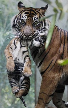 Tigers...............geesh, it looks like she`s eating him!