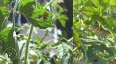 Leaf Problems: A Visual Guide Pests eating holes in tomato leavesPests eating holes in tomato leaves Pruning Tomato Plants, Tomato Growers, Tomato Seedlings, Tips For Growing Tomatoes, Growing Tomatoes In Containers, Growing Vegetables, Grow Tomatoes, Dried Tomatoes, Cherry Tomatoes