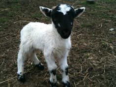 Baby Goat from Cold Antler Farm