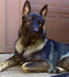 Kino Ayers Legends German Shepherds Large