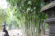 A tropical look in Victoria is possible with this bamboo. Fast grower, tight clumper, large leaves, stays green and lush throughout the year. Red Cloud, Lush, Bamboo, Clouds, Green, Cloud
