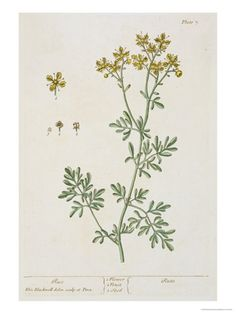 """Rue, Plate 7 from """"A Curious Herbal,"""" Published 1782 Giclee Print by Elizabeth Blackwell at Art.com"""