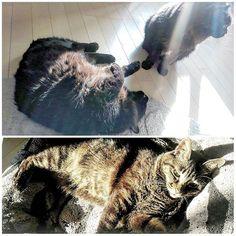 光合成中☀  ゴマちゃんは、自分より倍くらい身体の大きいババちゃんにも、ジジにもこの場所を取られなかった✌(この撮影前にバトルあり😹) #猫#猫部#ねこ部#きじとら #きじとら猫#キジトラ#キジトラ部 #cat#gato#japanesecat#ねこら部 #保護猫#元野良猫#猫大好き#愛猫 #愛猫同好会#愛猫家#catstagrammer #catstagram#catlover#黒猫#黒猫同盟 #黒猫部#BRACKCAT#黒猫クラブ #多頭飼い#黒猫ネットワーク #黒猫もふ団#リジェ猫#日向ぼっこ ★ペットショップで買わないで★ これから猫や犬を飼う方は、お金で買わずに、 里親さんになるという選択肢も入れてくださると、 日々殺処分され続けてる保健所の犬猫達や、 ペットショップの裏側で過酷な環境を強いられ続け最期は殺処分という不遇な繁殖犬や繁殖猫が、救われます😺🐶 ペットショップで買う人が居なくなれば、売れ残ったまま大きくなって殺処分されてしまう犬猫も救われます😺🐶
