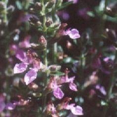 4 Gamander (Teucrium lucidrys)-directplant