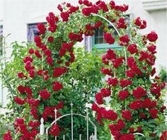Уход за плетистыми розами. Сажать плетистые розы надежней весной. Кусты со спящими почками высаживают до распускания почек на деревьях, как только земля прогреется до 10-12°С. Идеальный саженец с от…