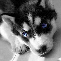 Miniature Siberian Huskies! this ones for you Jazzy!