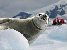 """""""El continente antártico ostenta el título del lugar más frío de la Tierra y es un extenso territorio cubierto de hielo, azotado por fuertes vientos fríos y sin luz solar en invierno. Aun así, unas pocas especies se han adaptado a vivir en tan duro e"""