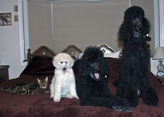 Standard Poodle-So Cute! Ali, Karina, and Bristol with Bengal friend Bindi