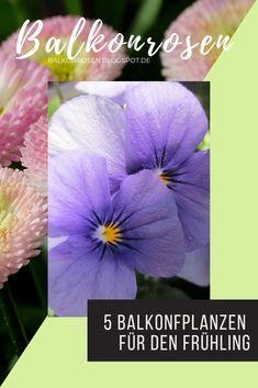 5 Pflanzen, die du jetzt im Frühling in deinen Balkonkasten pflanzen kannst Cluster, Inspiration, Flowers, Planting Garlic, Hardy Plants, Gutter Garden, Winter Festival, Beautiful Flowers, Biblical Inspiration