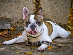 Best Dog Breeds – Pictures, Information, and Reviews – #French Bulldog http://www.pindoggy.com/pin/8394/