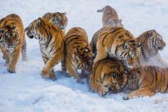 Northest Tiger 27