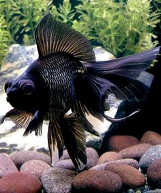 Black Moor Goldfish, always my Mom's favorite.