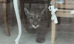 Tornano a casa… e la trovano occupata da un puma!  http://tuttacronaca.wordpress.com/2014/01/30/tornano-a-casa-e-la-trovano-occupata-da-un-puma/