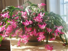 How to Care For and Make Christmas Cactus Bloom- See more at: http://worldofsucculents.com/care-make-christmas-cactus-bloom