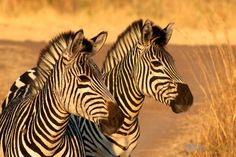 Spotted these zebras yesterday at the Victoria Falls Private Reserve in #Zimbabwe! #africa #wildlife