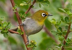 Japanese White Eye or Rice Bird Little Birds, Love Birds, Beautiful Birds, South African Birds, White Eyes, Colorful Birds, Small Flowers, Bird Watching, Bird Feathers