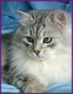 Silver-shaded white Siberian