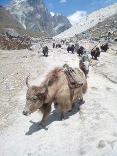 Як-як-як)))  С трека к Базовому лагерю Эвереста http://hikeup.net/trekk/7/