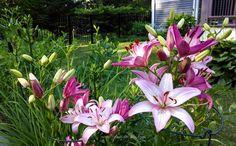Asiatic lily 'Rosella's Dream'