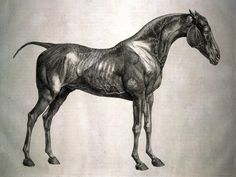 George Stubbs, an engraving from The Anatomy of the Horse  Published in London, England, AD 1766