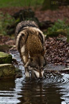 thirsty wolf | animal + wildlife photography #wolves