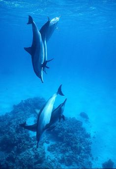 Dolphins swim in the Red Sea, south of Jeddah, in Saudi Arabia  Pinned by www.thesignaturehotels.com
