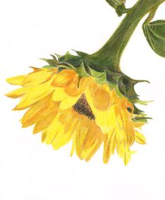 sunflower, colored pencil