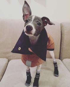 リバーシブルのダウンコート・ 靴下も履いて寒さ対策はバッチリだ〜〜❄️・ ますます男の子みたいだ(笑)・ ・ ・ ・ ・ #イタリアングレーハウンド #イタグレ #イタグレパピー #italiangrayhound #dog #puppy #zeedog #ハーネス #リード #犬 #ぬいぐるみ #ハリネズミ #plaza #衝動買い #トモダチ #テンパリスト #ワクチン #師走 #cutipol #cutlery #DeLonghi #インテリア #francfran #tfal #犬服 #靴下 #冬支度 #docdog #houndys