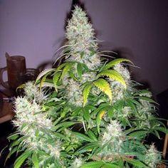 Купить семена конопли наложенным марихуана в виде сигарет