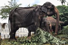 70 years old malnourished elephant in Sri Lanka slaving away in a festival. World Elephant Day, Asian Elephant, Elephant Facts, Sri Lanka, Elephas Maximus, Animal Rights Groups, Today Pictures, Save The Elephants, Twinkle Lights