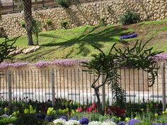 Maale Adumim, Israel - Public Landscaping, near entrance to the city, bougainvillea, snapdragons