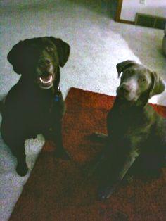 Chocolate & Silver Lab (Toby & Addie)
