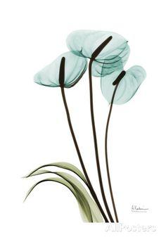 Flower Drawings Premium Giclee Print: Soft Anthurium 1 by Albert Koetsier : -