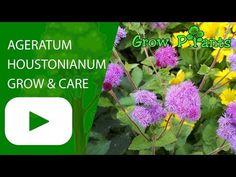 Ten Reasons Why People Like Ageratum Flower Care Ageratum Flower Care In 2020 Flower Care Plants Growing Plants