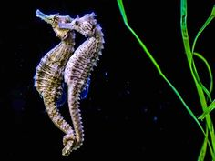 Seahorses mate for life and when they travel they hold each others tails