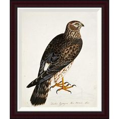 Global Gallery Falco Pygargus, Hen-Harrier, Fem by Rev. Christopher Atkinson Framed Graphic Art Size: