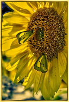 sunflower and butterflies--