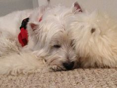 Westie, Meghan, rests after a busy Christmas