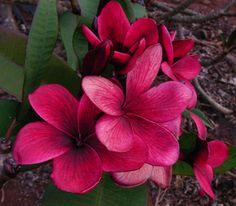 Kimi Beauty Plumeria Cutting, Maui Plumeria Gardens